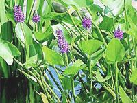 Pontederia cordata (***)