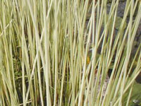 Scirpus lacustris